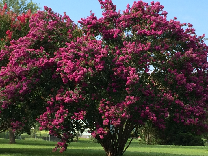 crepe myrtle on woodlands rd July 2015